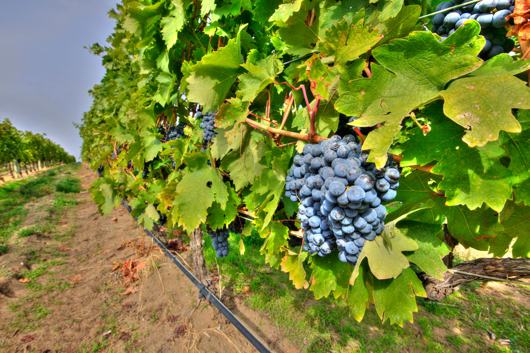 Sunrock Vineyards Grapes